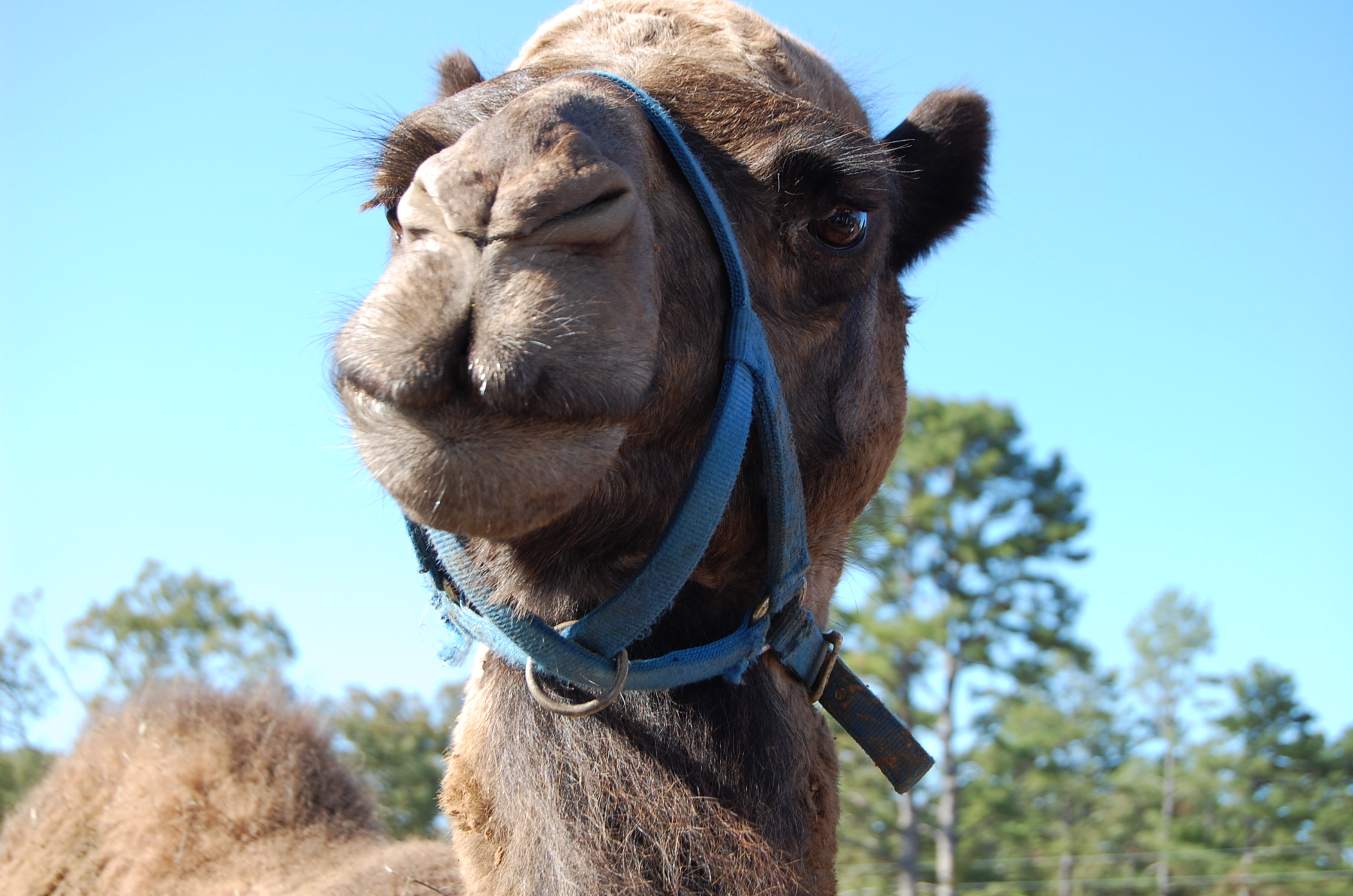 You can meet Abu the camel at Heifer Ranch. Heifer Ranch is just a little more than 20 miles from Petit Jean State Park where the Hoof it for Heifer trail run is held.